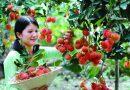 """""""Đột nhập"""" vườn trái cây tại Cần Thơ"""