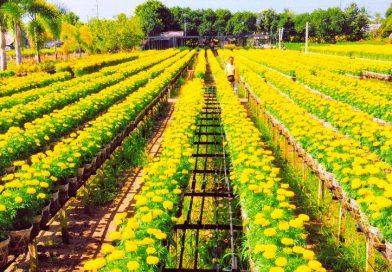 Tour Tết miền Tây đến với những làng hoa rực rỡ ngày đầu xuân